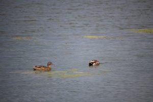 A Besenyői-tó lakói