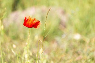 Piros mezei virágok - Erdélyi képek