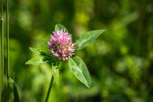 Réti here vagy vörös here (Trifolium pratense)