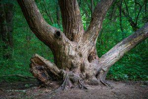 Az egyik legöregebb fa