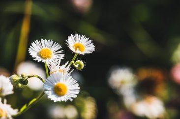 Fehér mezei virágok - Erdélyi képek