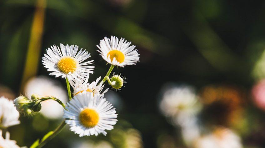 Egynyári seprence (Stenactis annua, régebben Erigeron annuus)