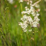 Koloncos legyezőfű (Filipendula vulgaris)