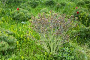 Tátorján (Crambe tataria) virágzás előtt