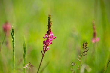 Rózsaszín mezei virágok - Erdélyi képek