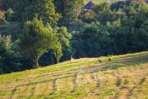 Két róka a falu szélén