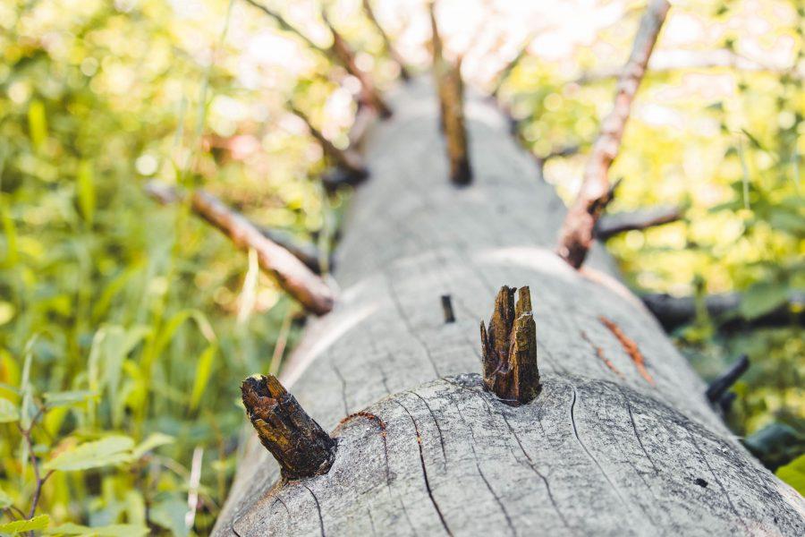 Kidőlt fa az ösvény mentén