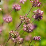 Lózsálya (Salvia verticillata)