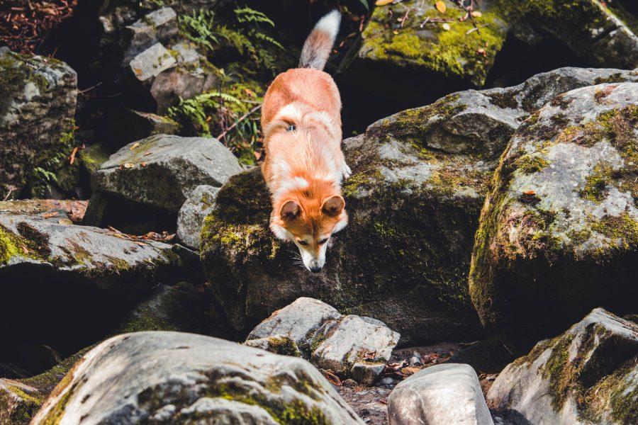 A kutya, amely úgy néz ki, mint egy róka
