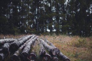 Fenyőerdő