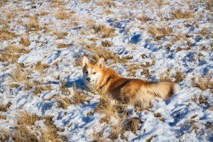 Floppy, az erdélyi Corgi élvezi a havat