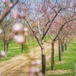 Décsei gyümölcsös tavasszal