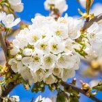 Tavaszi virágok a gyümölcsösben
