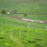 Legelésző juhok a sztyeppei bazsarózsa rezervátum szomszédságában