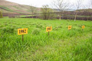 Ültetési évszámmal ellátot bazsarózsa sorok