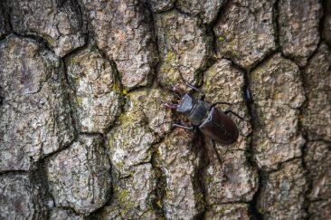 Nagy szarvasbogár - Erdélyi képek